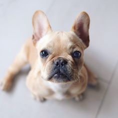 Alfie, the French Bulldog Puppy at 5 months old