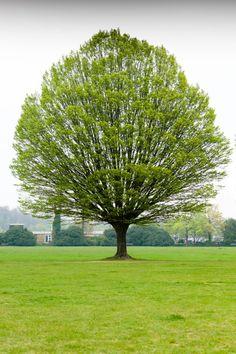 Hornbeam(Carpinus betulus)