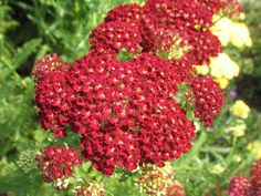 Achillea Pomegranate | Achillea millefolium 'Pomegranate' - Plant Finder