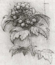 Picturing Plants and Flowers: Leonardo da Vinci: Viburnum opulus                                                                                                                                                                                 More