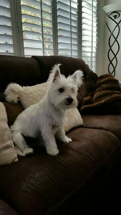 Riley own by Sandra Kalt Heidner Westie Warriors on Facebook