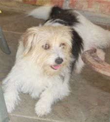 Carrie Ann is an adoptable Cairn Terrier Dog in Rowayton, CT. This sweet little girl was dumped at the shelter pregnant, she had 6 adorable little puppies and now is ready to find her new home, she is...