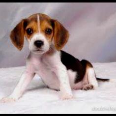 Beagle Puppy :) I want one!