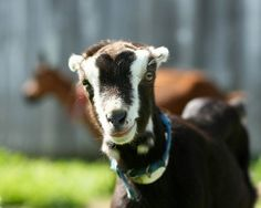 LaMancha goat - nice markings