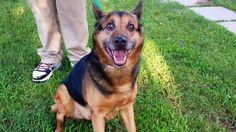 Adopt Cloey On Labrador Retriever Dog Retriever Dog Adoption