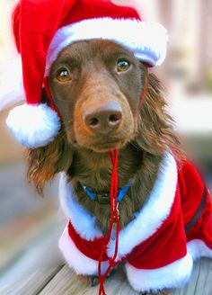 Teddy Claus by Doxieone, via Flickr  Looks just like my Max!