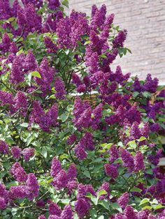 Purple Glory Lilac Flowering Shrub Plant