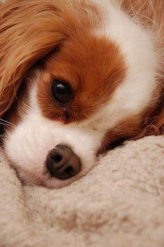 A Cavalier King Charles Spaniel puppy.