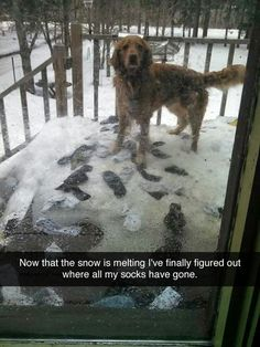 Now that the snow is melting, I've finally figured out where all my socks have done. // #humor #dogs