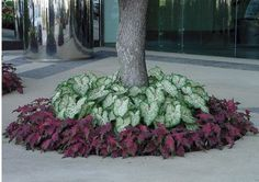 Caladiums – Gingerland with Red Frill – Precision Landscape
