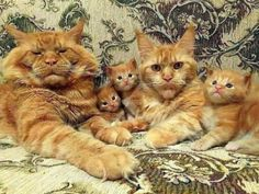 Cute Cats And Kittens, Kittens Cutest, Beautiful Cats, Animals Beautiful, Beautiful Family, Pretty Cats, Cute Baby Animals, Funny Animals, Animals Images