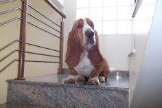 Familia Basset Hound: O seu pet tem ciúmes de você. Como lidar com isso?...