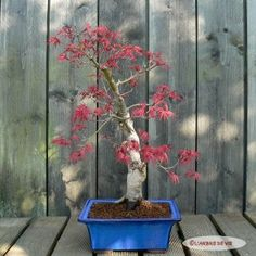 """Erable """"Seïgaï"""" Acer, Plants, Plant, Planets"""