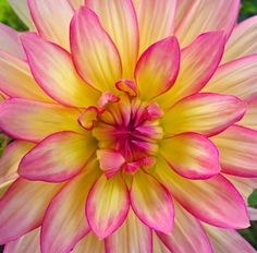 Pink Yellow Dahlia Flower Photos Beautiful Flowers Garden Pretty