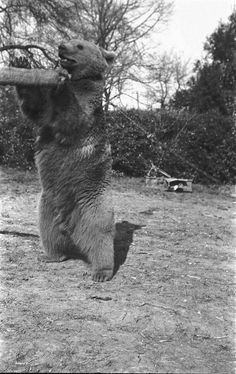 » Wojtek, the Soldier Bear George Santayana, North Africa, Black Bear, Soldiers, World War, Wwii, Britain, Bears, Army