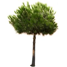 This is a cutout photo of a round and medium tall coniferous tree with sharp needles.