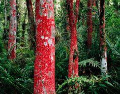 Baton Rouge Lichen covers Bald Cypress (Taxodium distichum) trunks, Loxahatchee National Wildlife