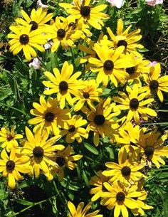 Good idea for full sun - Black-Eyed Susans can take the heat and they bloom into fall.  Perennial border plant.