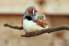 Zebra Finches as Pets (What to Expect)
