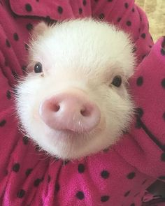 Three Little Pigs and the Big Bad Wolf story and songs Pet Pigs, Baby Pigs, Guinea Pigs, Cute Baby Animals, Animals And Pets, Funny Animals, Farm Animals, Cute Piglets, Teacup Pigs
