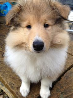 rough collie puppy | Tumblr