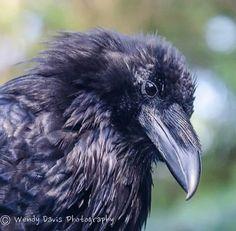 Your daily (baby) raven via Wendy Davis Photography Facebook