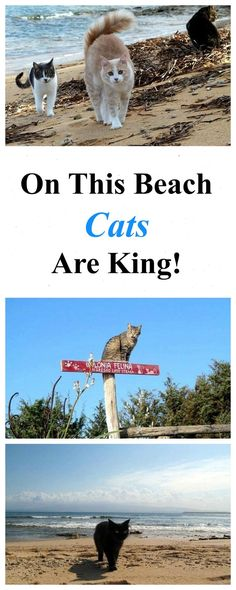 On this beach, cats are king! Read more: http://www.traveling-cats.com/2016/06/cats-from-su-pallosu-sardinia.html (things to do in Sardinia, Sardinia travel, Sardinia holiday, Sardinia beach, best beaches in Sardinia, Su Pallosu, cats)