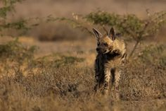 #Tadoba is not just about tigers, it is also the home for striped hyena http://bit.ly/1jYtWLh,dare to hear a roar?