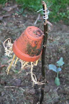 Oorwormen zijn nog effectiever tegen bladluizen dan lieveheersbeestjes, want waar luizen zijn daar zijn vaak mieren en tegen mieren kunnen l...