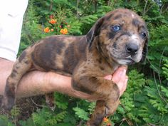About All Dog Catahoula Puppies | Currant Catahoulas » Pups & Dogs for Sale