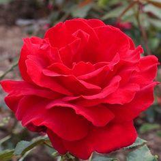 Victor Hugo ~ Grandiflora