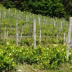 Fencing helps your grape vines thrive.