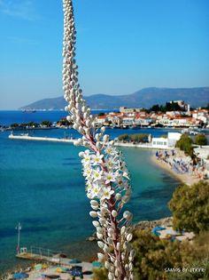 2014 Samos sea-squill by jtkfr Samos, Karpathos, Skiathos Island, Greek Beauty, Greece Islands, Santorini Greece, Greek Life, Greece Travel, Beautiful Islands