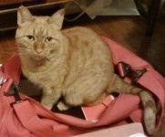 Lost Orange Cat in North Plainfield   CLASSIFIED NJ