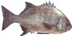 Galjoen only occur in Southern African waters and this is South Africa's National fish. Interesting Photos, Cool Photos, African Symbols, Fishing Rigs, National Symbols, Cottage Art, Visual Texture, Out Of Africa, African Animals