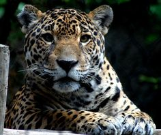 I love jaguars.