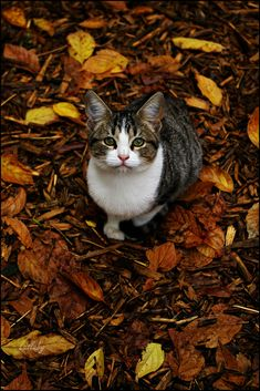 Otoño gatuno by Lullaby DT https://www.flickr.com/photos/lullabydt/8134500468