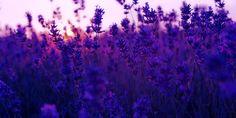 Flowers Lavender Plants Purple