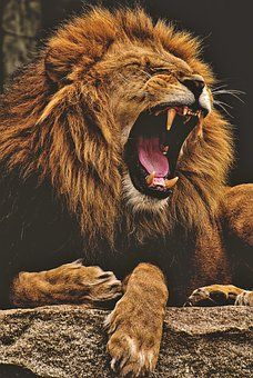 An admirable lion and his amazing roar + 8 Pictures with other cute animals Lion Images, Lion Pictures, Funny Pictures, Lion And Lioness, Lion Of Judah, Big Cats, Cats And Kittens, Baby Animals, Cute Animals