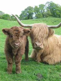 Highland Cattle World