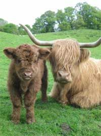 Highland Cattle World