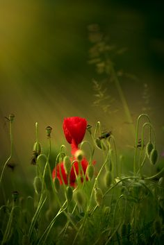 Poppies by David Lecat - Photo 155632011 - 500px