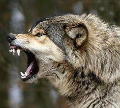 Wolf Spirit, Spirit Animal, Beautiful Creatures, Animals Beautiful, Animals And Pets, Cute Animals, Angry Wolf, Timberwolf, Wolf Stuff