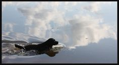 Labrador Retrievers live to swim!