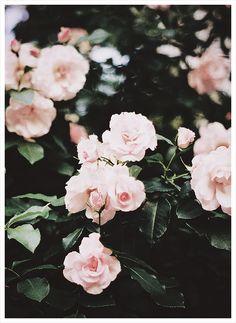 no rain, no flowers ❁ // Flower Power, My Flower, Flowers Nature, Beautiful Flowers, Pink Roses, Pink Flowers, Flowers Pics, Night Flowers, Pastel Roses
