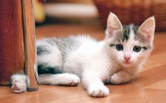 """Looking to adopt a kitten? Yay! Kittens are awesome! Before you do, though, make sure that you, your house, and your other pets are ready for the new """"baby."""" We have a few tips to get you started - at the link."""