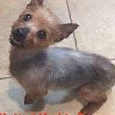 #yorkshireterrier Wheaten Terrier Mix, Chihuahua Terrier Mix, Yorkie Puppy, Bull Terrier Dog, Yorkshire Terrier Haircut, Yorkshire Terrier Puppies, Puppies Puppies, Yorkies, Orlando Florida