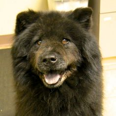 Maya is a senior Chow Chow up for adoption in East Hartford, CT! She is available through Protectors of Animals! Check out her page for more details!