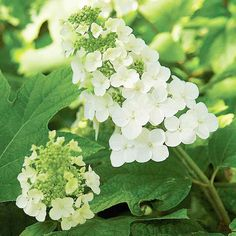 Check out our top hydrangea picks, including flowers that fare well in sun or shade, ones that are easy to grow or will survive in cool weather, blooms that will provide color all season long, and climbing hydrangeas. Learn the tips and tricks for growing and pruning each type of hydrangea. Plus, find out helpful hints and special varieties of hydrangeas to try growing in your garden!