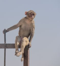 Just hanging here in Monkey Temple Jaipur India